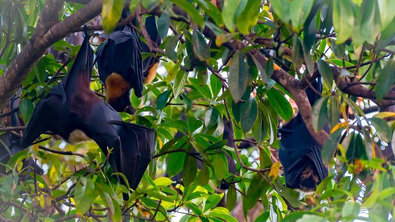 Fruit Bats Roosting (Cairns, Australia - Nov 2016)