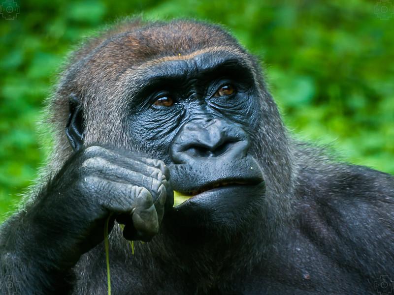 Wildlife - Gorillas-4.jpg
