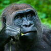 Wildlife - Gorillas-4.jpg