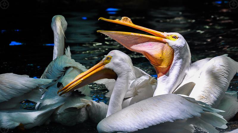 Wildlife - Pelicans.jpg