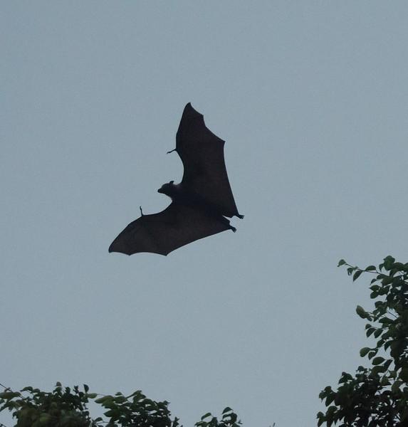 Fruit Bat (Cairns, Australia - Nov 2016)