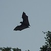 Fruit Bat (Cairns, Australia - Nov 2016)