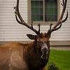 Wildlife - Elk.jpg