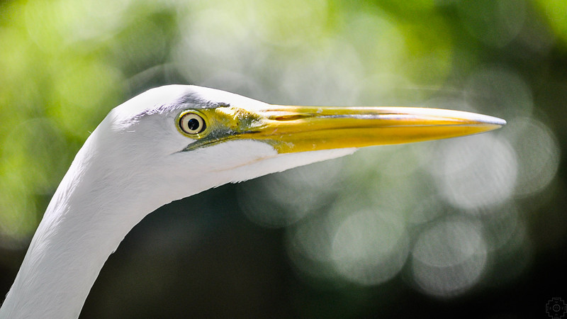 Wildlife Egret.jpg