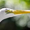 Wildlife Egret.jpg