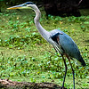 Wildlife - Egret 2.jpg