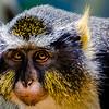 Wildlife - Wolfs Mona Monkey Close-up.jpg