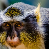 Wildlife - Wolfs Mona Monkey Close-up.jpg