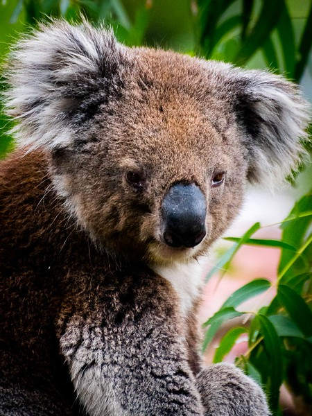 Koala Bear (South of Melbourne, Australia - Nov 2016)