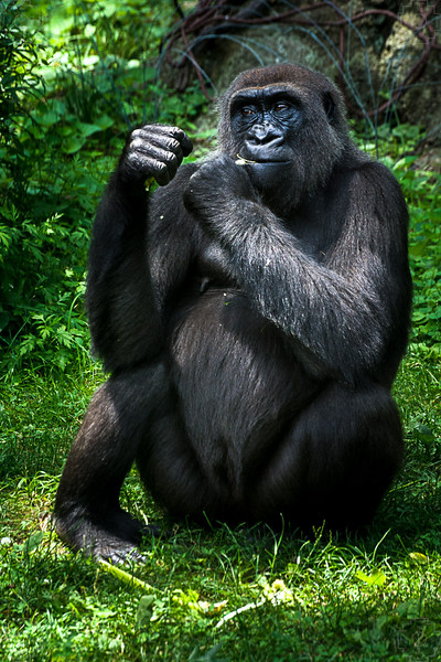 Wildlife - Gorillas-3.jpg