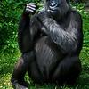 Wildlife - Gorillas-3.jpg