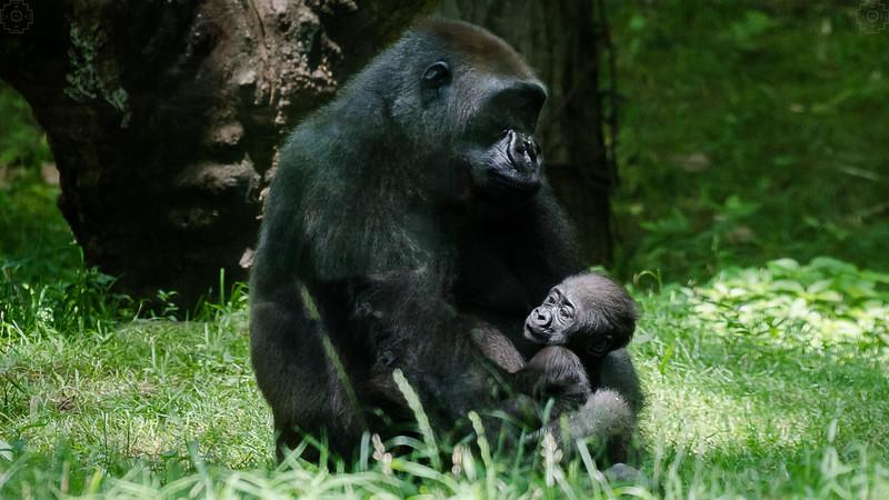 Wildlife - Gorillas-6.jpg