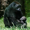 Wildlife - Gorillas-6.jpg
