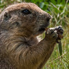 Wildlife - Prarie  Dog.jpg