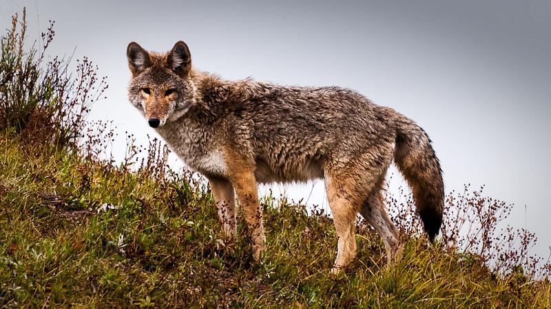 Wildlife - Coywolf.jpg