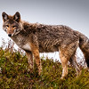 Wildlife - Coywolf.jpg