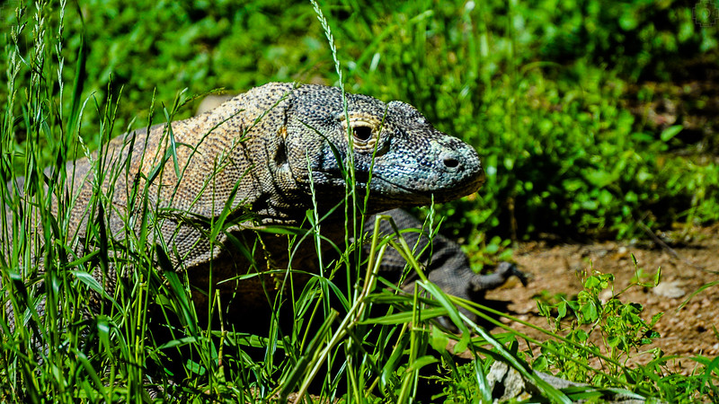 Wildlife - Komodo Dragon 3.jpg