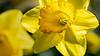 daffodil; 9x16