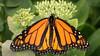 Monarch Butterfly; 9x16