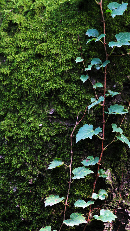 A tree mantled with ivy and moss at Namsan, Seoul