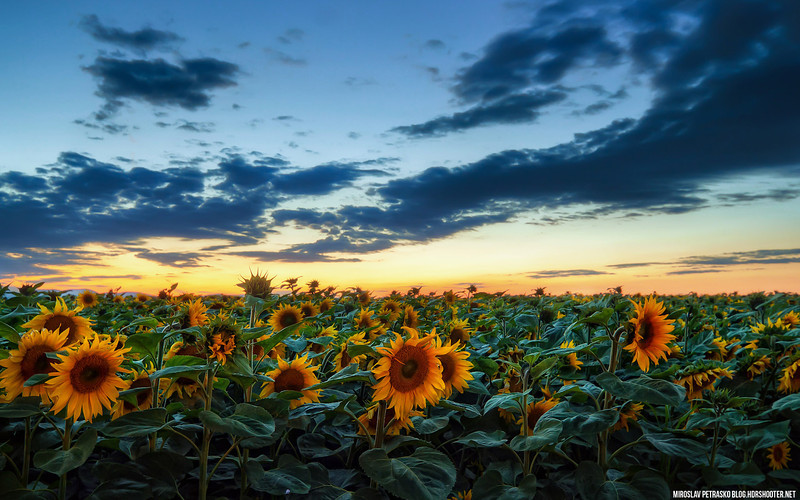 After sunset in the Sunflower field 1920x1200