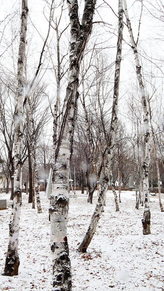 Birch trees on a snowy day