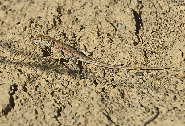 Wallula Junction Lizards. 9-2-16