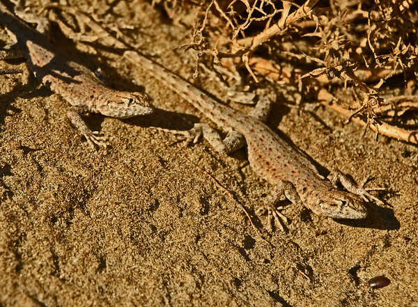 Wallula Side-Blotched Lizards Galore: 11-4-16