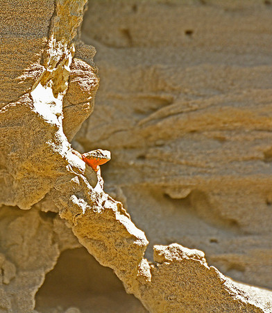 Wallula Unit Side-Blotched Lizards, 5-9-16