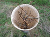 Oak sapling leaf buds preparing to open up.