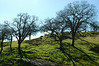 Naked dancing oaks near Joaquin Ranch gate.