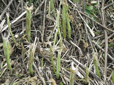 Mustard Mowing Results - Shell Ridge 021411