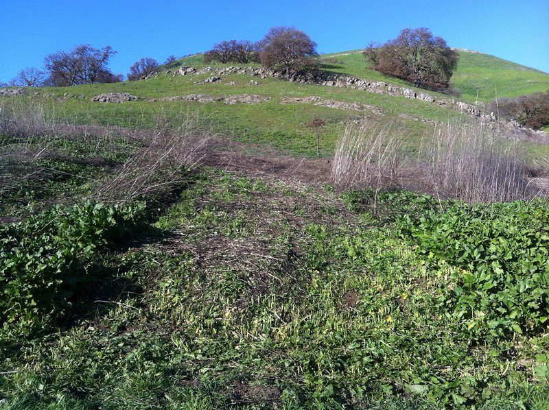 This is a swath that my son and I mowed on February 6.  Location: perpendicular to the Mt. Diablo-Briones Trail, near the new kiosk overlooking the burn area.