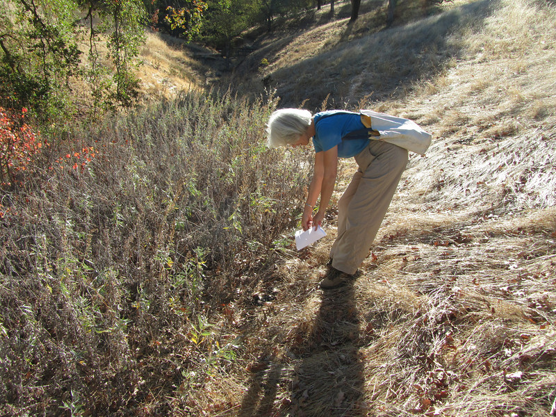 Along the banks of Indian Creek, Lesley coaxes mugwort seeds out of their pods.