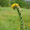 Common Fiddleneck, Amsinckia menziesii var. intermedia (native annual)