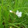 Woodland Star, Lithophragma affine (native perennial)