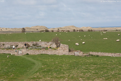 The Castle garden and sheep