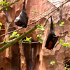 Fruit bats along the Maharajah Jungle Trek.