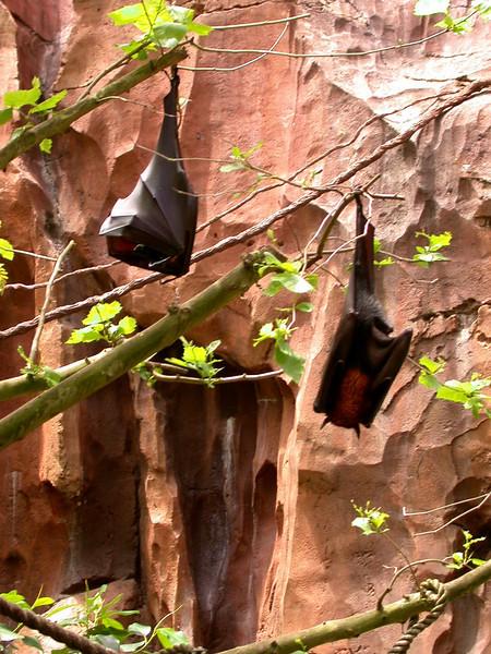 Fruit bats along the Maharajah Jungle Trek.