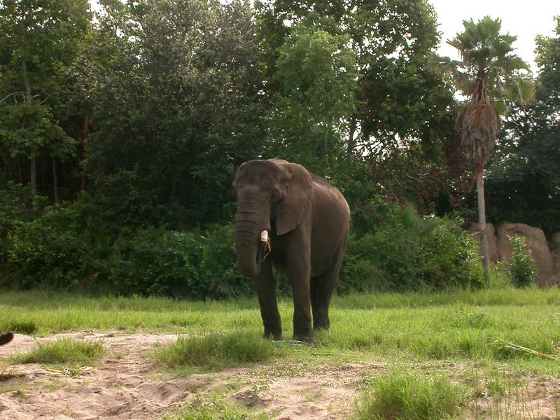 Walt Disney World 2003. Disney's Animal Kingdom Park.  Animals on the Kilimanjaro Safari attraction at Disney's Animal Kingdom Park.