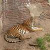 Tiger along the Maharajah Jungle Trek.