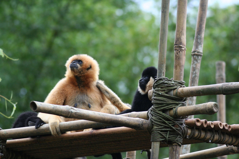 Asia - White-Cheeked Gibbon
