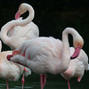 Kilimanjaro Safaris - Greater Flamingo