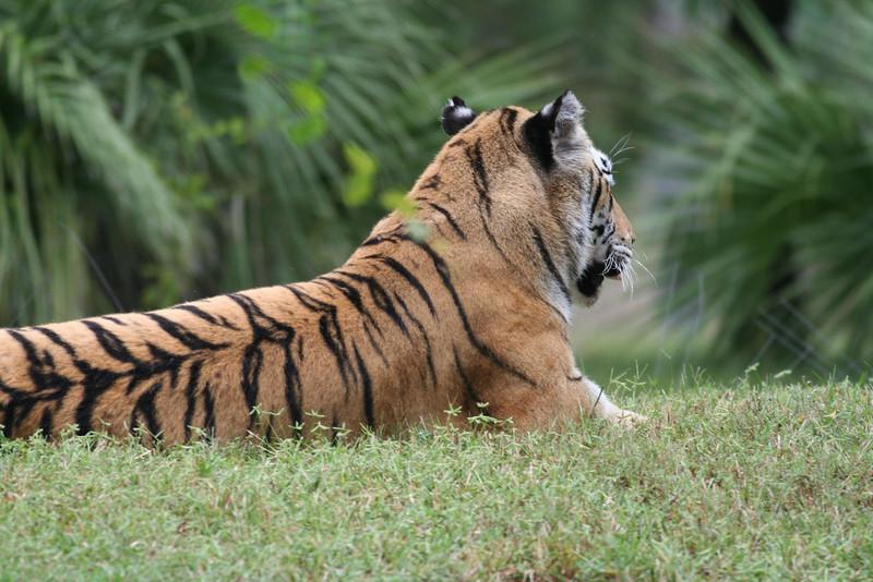 Maharajah Jungle Trek - Tiger