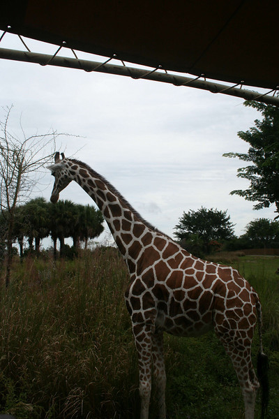 Kilimanjaro Safaris - Reticulated Giraffe