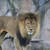 Kilimanjaro Safaris - Lion