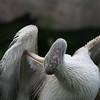Kilimanjaro Safaris - Pink-Backed Pelican