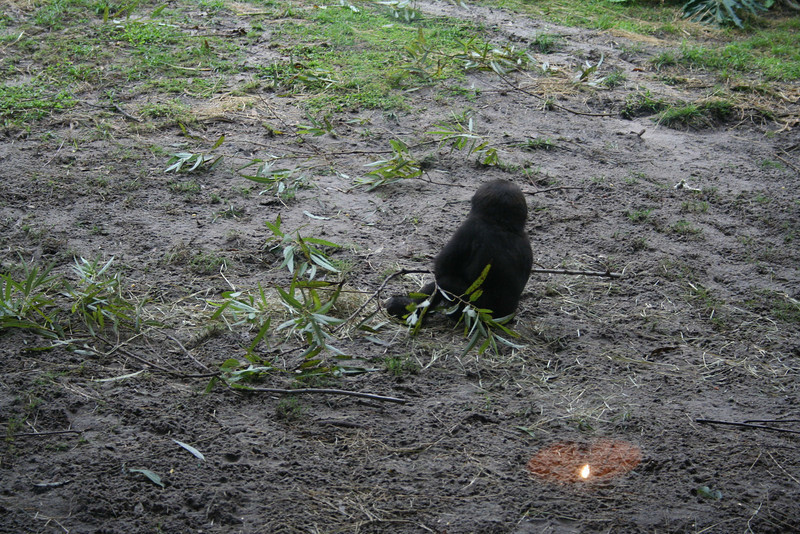 Pangani Forest Exploration Trail - baby Lowland Gorilla