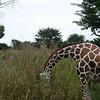 Kilimanjaro Safaris - Reticulated Giraffe