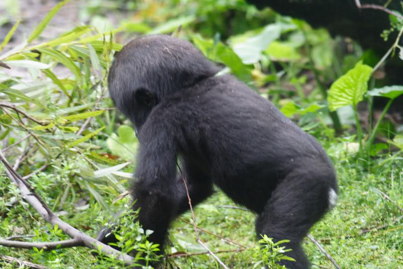 Pangani Forest Exploration Trail - baby Lowland Gorilla